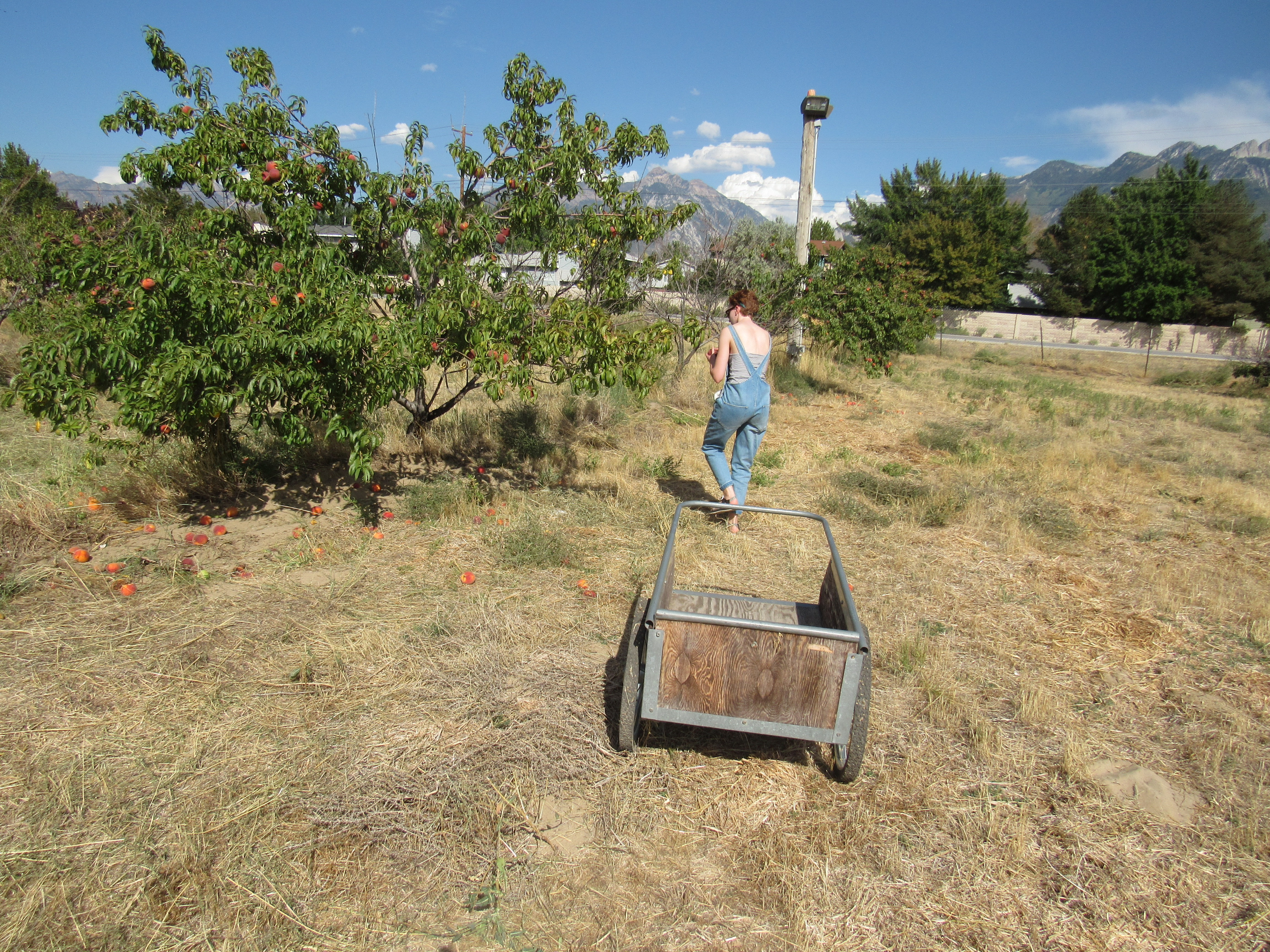 A girl with short hair and wearing overalls stands behind a wheelbarrow and next to a tree full of peaches.